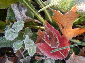 Frosty leaves © 2013 Karen A Johnson