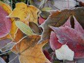Frosty leaves 3 © 2013 Karen A Johnson
