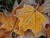 Frosty leaves 5 © 2013 Karen A Johnson