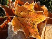 Frosty leaves 8 © 2013 Karen A Johnson