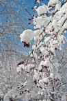 Snowy berries ©2014 Karen A Johnson