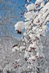 Snowy berries ©2014 Karen A Johnson