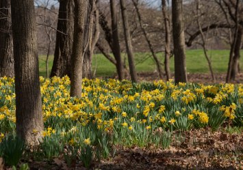 Daffodils in the woods © 2014 Karen A Johnson