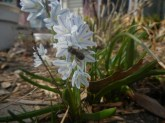 Striped Squill and Bee © 2014 Karen A Johnson