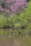 Redbud and geese © 2014 Karen A Johnson