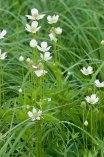 Prairie anemone © 2014 Karen A. Johnson