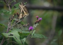 Giant Swallowtail coming in for a landing! © 2014 Karen A. Johnson