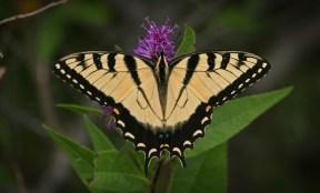 Tiger Swallowtail © 2014 Karen A. Johnson