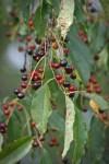 Wild cherries 2 © 2014 Karen A. Johnson