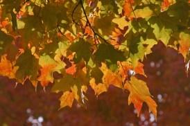 Backlit maple leaves © 2014 Karen A. Johnson