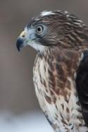 Broad-winged hawk head shot © 2015 Karen A. Johnson