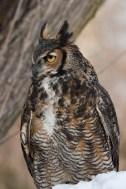 Gt horned owl © 2015 Karen A. Johnson