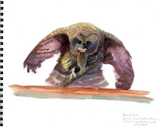 Northern Barred Owl sketch © 2015 Karen A. Johnson