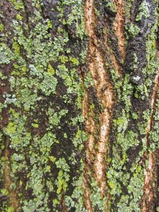 Illinois lichens on bark © 2012 Karen A. Johnson