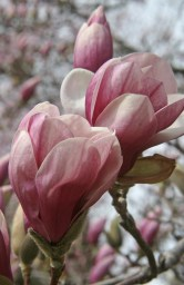 Magnolia-pink © 2015 Karen A. Johnson