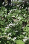 Dutchman's Breeches © 2015 Karen A. Johnson
