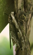 Elm sphinx moth camouflaged © 2015 Karen A. Johnson