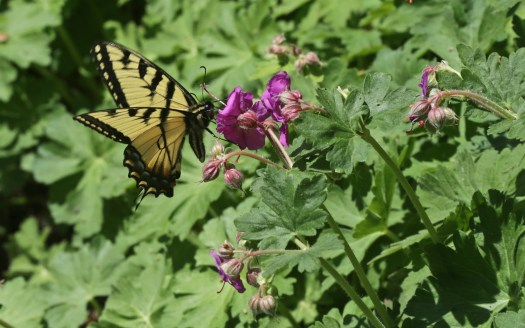 Tiger Swallowtail © 2015 Karen A. Johnson