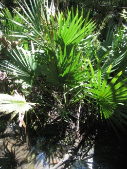 Palmettos © 2015 Karen A. Johnson