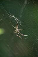 Golden silk spider © 2015 Karen A. Johnson