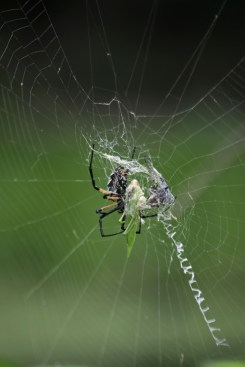 Garden spider feeding on katydid © 2015 Karen A. Johnson