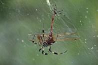 Golden silk spider and dragonfly © 2015 Karen A. Johnson