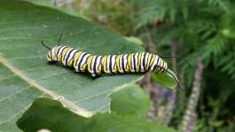 Monarch caterpillar © 2015 Karen A. Johnson