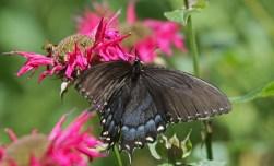 Black form female tiger swallowtail © 2015 Karen A. Johnson