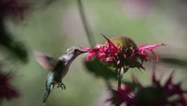 Hummingbird 2 © 2015 Karen A. Johnson