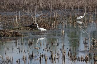 Egrets 3 © 2015 Karen A. Johnson