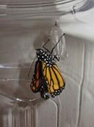 Emerging monarch 2 © 2015 Karen A. Johnson