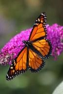 Monarch on butterfly bush-10 © 2015 Karen A. Johnson