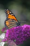 Monarch on butterfly bush-2 © 2015 Karen A. Johnson