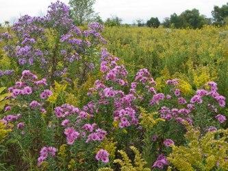 Springbrook Prairie asters © 2015 Karen A. Johnson