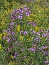Springbrook Prairie asters 3 © 2015 Karen A. Johnson
