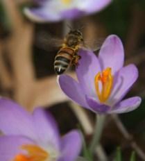 Crocus and Honeybee flying 2 © 2016 Karen A. Johnson