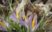 Crocus and Honeybee flying 3 © 2016 Karen A. Johnson