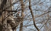 Red-bellied woodpecker 3 © 2016 Karen A. Johnson