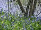 Birch and bluebells © 2016 Karen A. Johnson