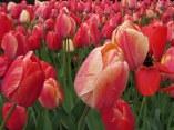 Red tulips © 2016 Karen A. Johnson