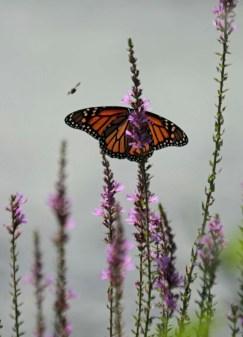 Monarch and bee 3 © 2016 Karen A. Johnson