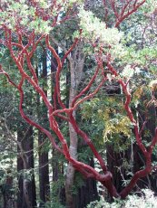 Red tree © 2016 Karen A. Johnson