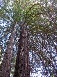 Redwood branches © 2016 Karen A. Johnson