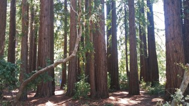 UCSC redwoods © 2016 Karen A. Johnson