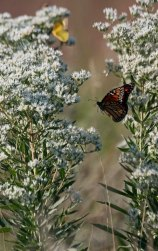 Flying monarch 2 © 2016 Karen A. Johnson