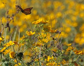 Flying monarch © 2016 Karen A. Johnson