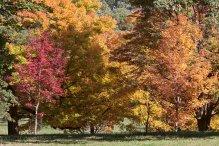 Maples 2 © 2016 Karen A. Johnson
