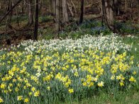 Daffodil field © 2017 Karen A Johnson
