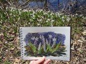 Trout lily sketch © 2017 Karen A Johnson