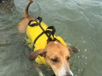 Bruno getting the hang of his new life jacket